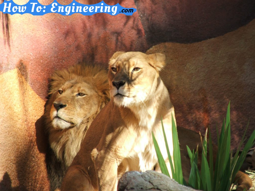 Lions at the LA zoo